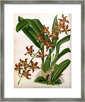 Orchid, Oncidium Anthrocrene,1891 Framed Print