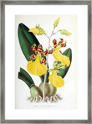 Orchid, Oncidium Splendidum, 1880 Framed Print
