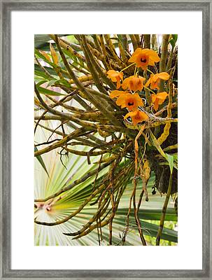 Orchid Framed Print by Pamela Kelly Phillips