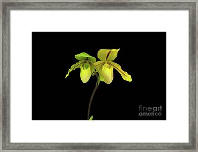 Orchid Paphiopedilum Druid Spring Framed Print