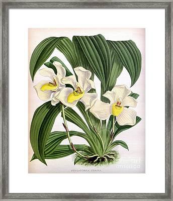 Orchid, Pescatorea Cerina, 1891 Framed Print