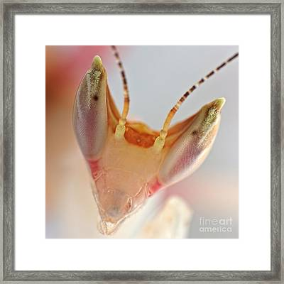 Framed Print featuring the photograph Orchid Praying Mantis by Joerg Lingnau