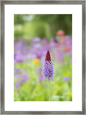 Orchid Primrose Flower Framed Print by Tim Gainey