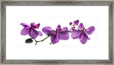 Orchid Row Framed Print by Julia McLemore