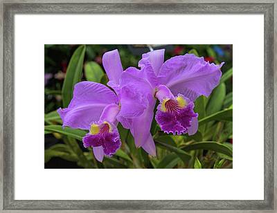 Orchid Show 10 Framed Print by Alana Thrower