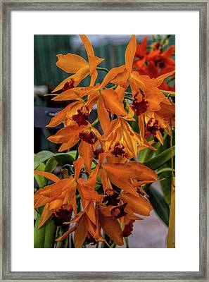 Orchid Show 12 Framed Print by Alana Thrower