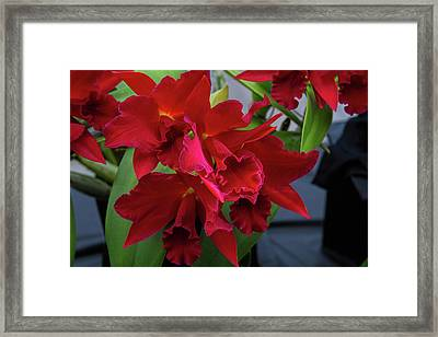 Orchid Show 13 Framed Print by Alana Thrower
