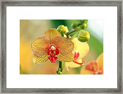 Orchid Show Framed Print by Geraldine Scull