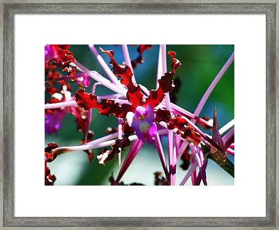 Orchid Spider Framed Print by Karen Wiles