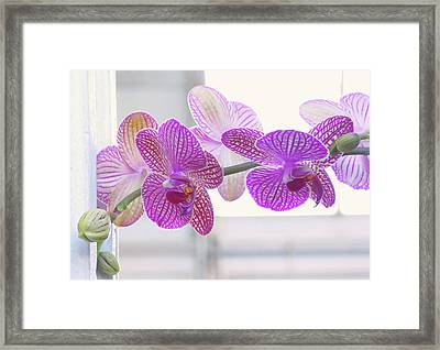 Orchid Spray Framed Print