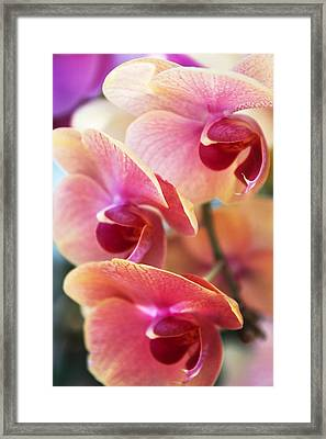 Orchid Trio Framed Print by Jessica Jenney