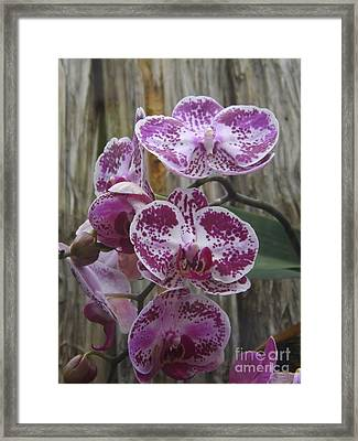 Orchid With Purple Patches Framed Print by Lingfai Leung