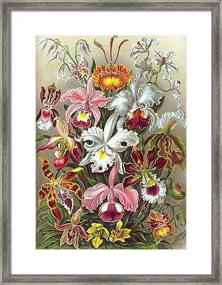 Orchidae Orchids Framed Print by Ernst Haeckel
