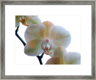 Orchids 3 Framed Print by Mike McGlothlen