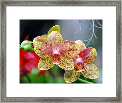 Orchids 35 Framed Print by Marty Koch