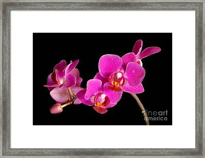 Framed Print featuring the photograph Orchids by Alana Ranney