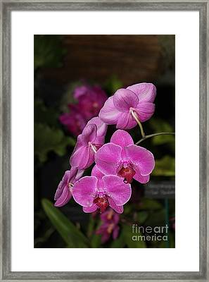 Orchids Alicia Framed Print by The Art of Alice Terrill
