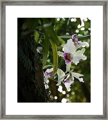 Orchids Framed Print by Deborah Molitoris