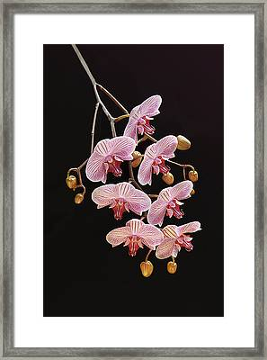Orchids Galore Framed Print