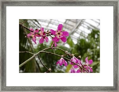 Orchids Myriad Botanical Gardens Okc Framed Print