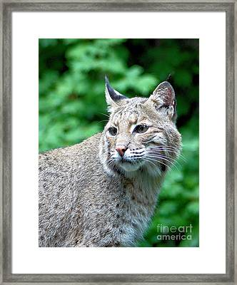 Oregon Bobcat Framed Print