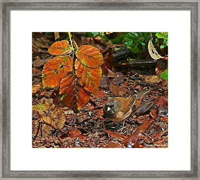 Oregon Junco Framed Print