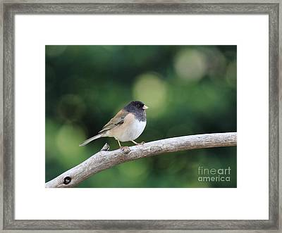 Oregon Junco Framed Print by Wingsdomain Art and Photography