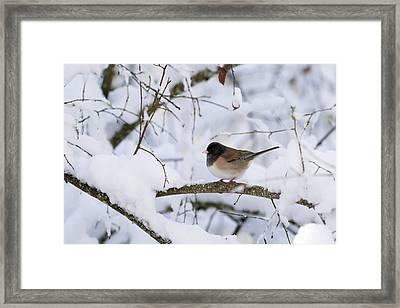 Oregon Junko In Snow Framed Print by Brian Bonham