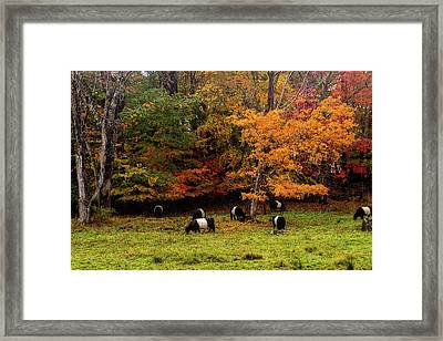 Oreo Cookie Cows Framed Print by Terry Davis