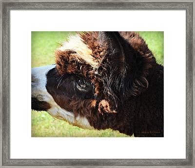 Oreo-the Alpaca Framed Print by Kathy M Krause