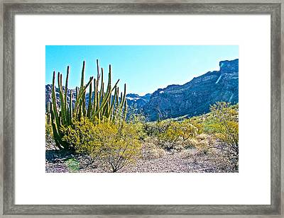 Organ Pipe Cactus In Arch Canyon In Organ Pipe Cactus National Monument-arizona  Framed Print by Ruth Hager