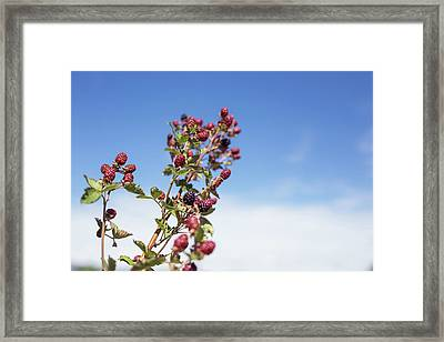 Organic Handpicked Home Orchard Raspberries,blackberries From Bu Framed Print