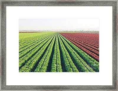 Organic Lettuces Growing Framed Print by Inga Spence