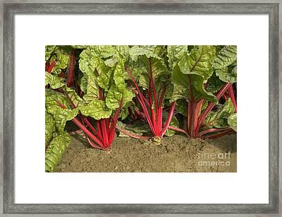 Organic Swiss Chard Framed Print