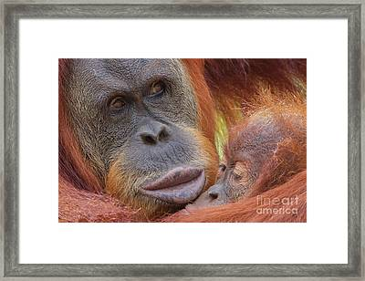 Organutan Mother And Baby Framed Print
