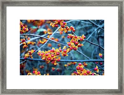 Oriental Bittersweet Vines Framed Print by Douglas Milligan