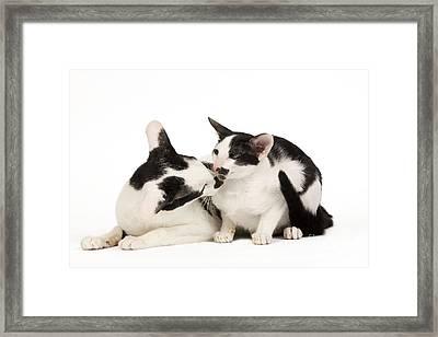 Oriental Cats Framed Print by Jean-Michel Labat