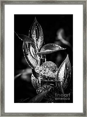 Oriental Lily Kissed By Rainfall - Black And White Framed Print