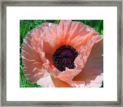 Oriental Poppy Framed Print by Addie Hocynec