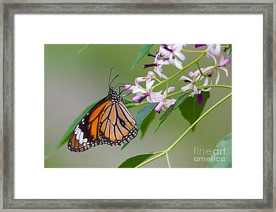 Oriental Striped Tiger, India Framed Print