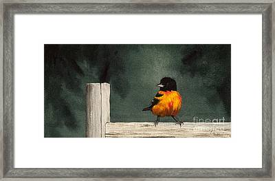 Oriole De Baltimore Framed Print by Caroline Boyer