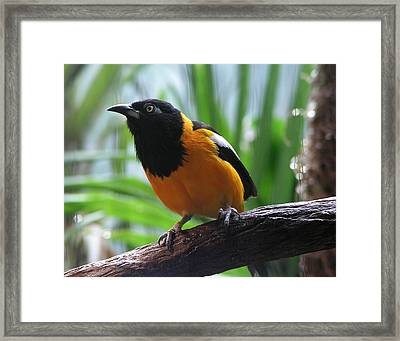 Oriole  Framed Print by Helaine Cummins