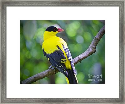 Oriole On A Mission Framed Print