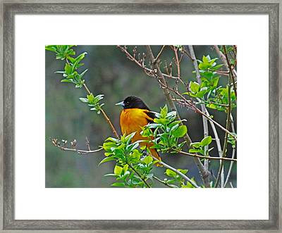 Oriole On The Lilac Framed Print