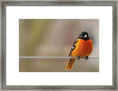 Oriole On The Line Framed Print