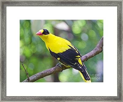 Oriole Wonder Framed Print