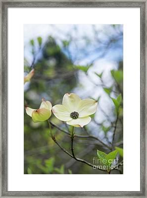 Ormond Dogwood Flower Framed Print