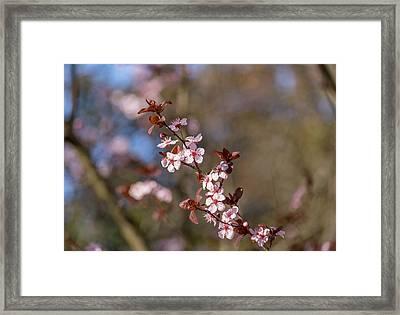 Purple Leaf Sandcherry Blossoms Framed Print