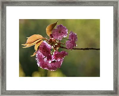 Ornamental Cherry Blossoms - Framed Print