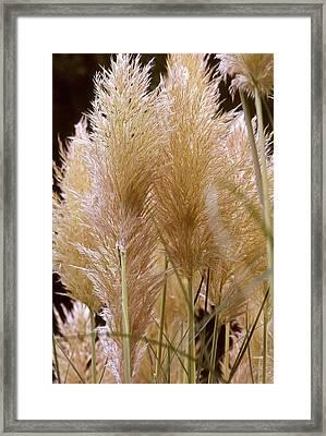 Ornamental Grass Framed Print by Chris Brewington Photography LLC